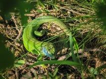 Спрятанная зеленая ящерица - Smaragdeidechse 2 Стоковые Изображения RF