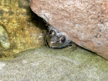 спрятанная лягушка Стоковые Изображения