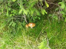 Спрятанные грибы Стоковое Изображение