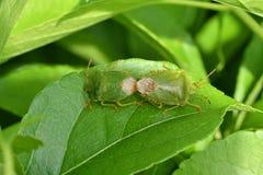 Спрятанные насекомые черепашок на траве стоковые фото
