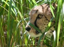 спрятанный гепард Стоковое фото RF