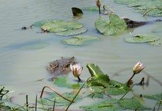 Спрятанный крокодил Стоковая Фотография