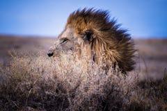 Спрятанный лев в Африке стоковые фотографии rf