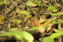 Спрятанный пробовать Сибирского бурундука стоковое фото rf