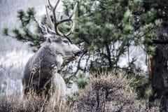Спрятанный самец оленя Стоковые Изображения RF