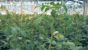 Спускать от вершины парника к основанию томата bushes расти в ем акции видеоматериалы