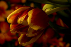 Спуск тюльпана Стоковое фото RF