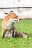 спутывать лисицы мыжской красный Стоковое Изображение RF