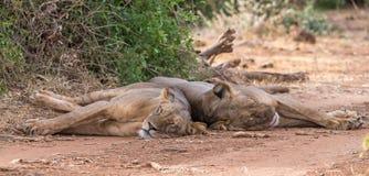 Спящие красавицы Стоковое Фото