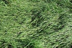 Сплющенная трава Стоковые Фото