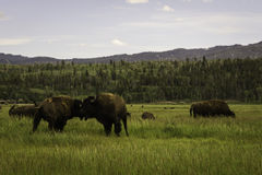 Сражая бизон Стоковое Изображение