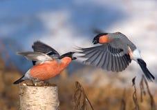 Сражение весны 2 мужских Bullfinches Стоковое фото RF