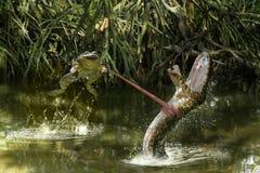 Сражение лягушки и змейки в реке стоковое изображение
