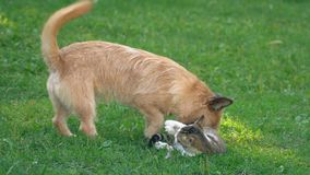 Сражение собаки и кота видеоматериал