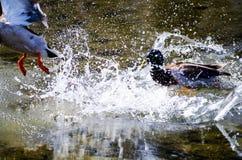 Сражение утки стоковые фотографии rf