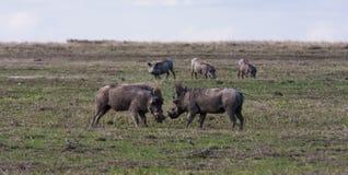 Сражение warthogs в поле SweetWaters Стоковое фото RF