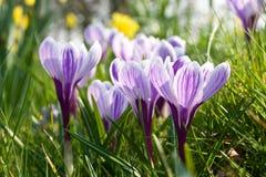 среди весны отверстия травы крокусов Стоковое Изображение