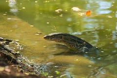 Среднего размера, красивая ящерица монитора, на крае искусственного обваловки водного пути, наслаждаясь водами, в сочном тайском  стоковое изображение rf