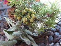 Среднеземноморская ветвь можжевельника специи с ягодами и листьями шалфея стоковые фото
