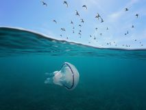 Среднеземноморская чайка в небе и медузах подводных Стоковые Фотографии RF