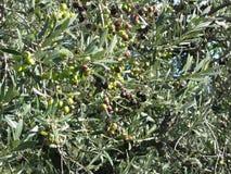 Среднеземноморские ветви оливкового дерева с предпосылкой оливок Италия Тоскана Стоковые Фотографии RF