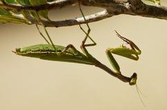 Среднеземноморской висеть mantis вверх ногами - oratoria радужки Стоковое Изображение