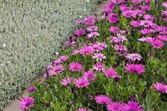 Среднеземноморской сад Цветки Iberis, африканской маргаритки стоковые изображения