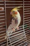 Средний 4-цвет Corella попугая стоковое изображение