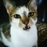 Средний Meow стоковое изображение
