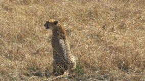 Средняя съемка задней части женского гепарда сидя на том основании в запасе игры mara masai видеоматериал