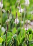 Средства массовой информации Plantago белого цветка стоковые фото