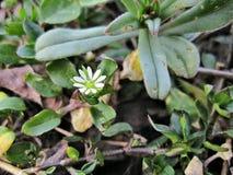 Средства массовой информации stellaria цветка стоковое фото