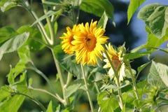 Средств взгляд заводов солнцецвета карлика Стоковое Фото