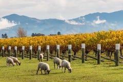 Срезанные овцы пася в винограднике осени Стоковое Изображение