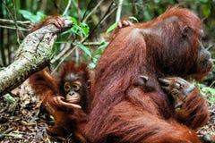 среда обитания новичка Борнео женская целует древесину дождя orangutan мумии родную Орангутан Bornean (wurmmbii pygmaeus Pongo o) Стоковое Изображение