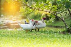 Среда обитания утки Стоковая Фотография
