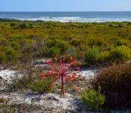 Среда обитания Brunsvigia Orientalis Стоковые Фото