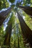 Среди самого высокорослого деревьев Redwood, смотрящ вверх в интересе стоковое изображение rf