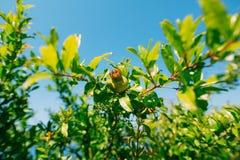 Среднего размера плодоовощ гранатового дерева на зеленом цвете дерева в Monteneg Стоковое Изображение RF
