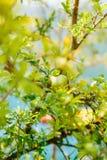 Среднего размера плодоовощ гранатового дерева на зеленом цвете дерева в Monteneg Стоковые Фотографии RF