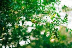 Среднего размера плодоовощ гранатового дерева на зеленом цвете дерева в Monteneg Стоковое фото RF