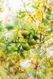 Среднего размера плодоовощ гранатового дерева на зеленом цвете дерева в Monteneg Стоковая Фотография