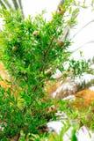 Среднего размера плодоовощ гранатового дерева на зеленом цвете дерева в Monteneg Стоковое Фото