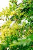 Среднего размера плодоовощ гранатового дерева на зеленом цвете дерева в Monteneg Стоковые Изображения