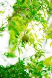 Среднего размера плодоовощ гранатового дерева на зеленом цвете дерева в Monteneg Стоковые Изображения RF