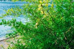 Среднего размера плодоовощ гранатового дерева на зеленом цвете дерева в Monteneg Стоковое Изображение