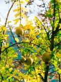 Среднего размера плодоовощ гранатового дерева на зеленом цвете дерева в Monteneg Стоковая Фотография RF