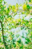 Среднего размера плодоовощ гранатового дерева на зеленом цвете дерева в Monteneg Стоковые Фото