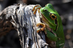 Среднеземноморская древесная лягушка Стоковая Фотография RF