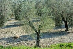 Среднеземноморской взгляд плантации поля оливковых дерев Стоковая Фотография RF